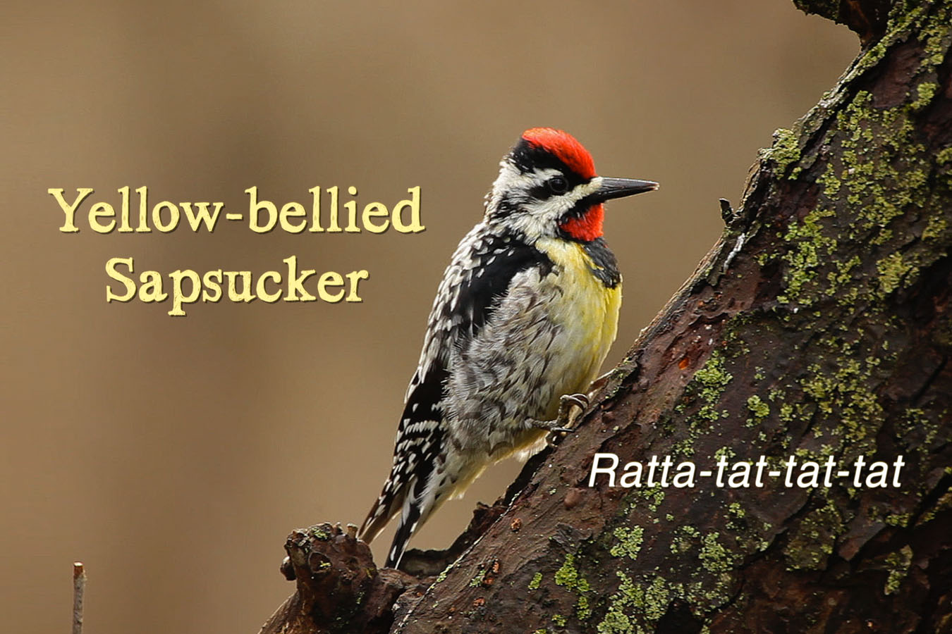 Yellow-bellied Sapsucker - featured image © Lang Elliott
