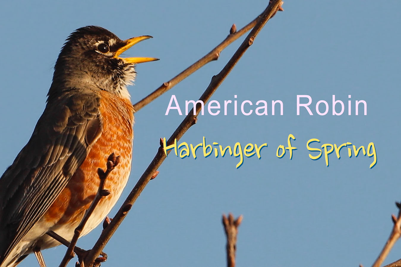 American Robin - featured image © Lang Elliott
