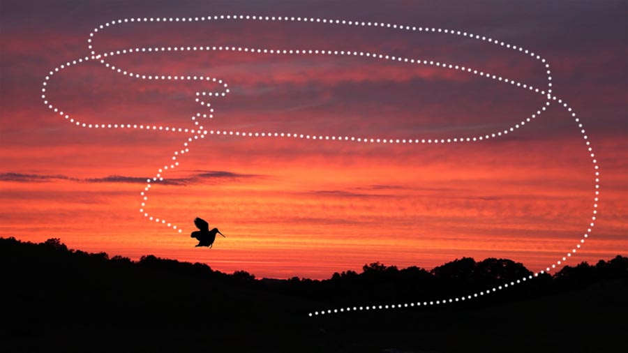 American Woodcock - flight display of male (representation) © Lang Elliott