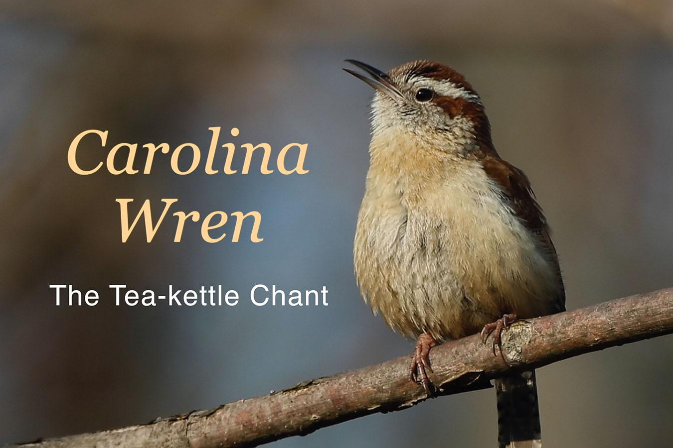 Carolina Wren - featured image © Lang Elliott