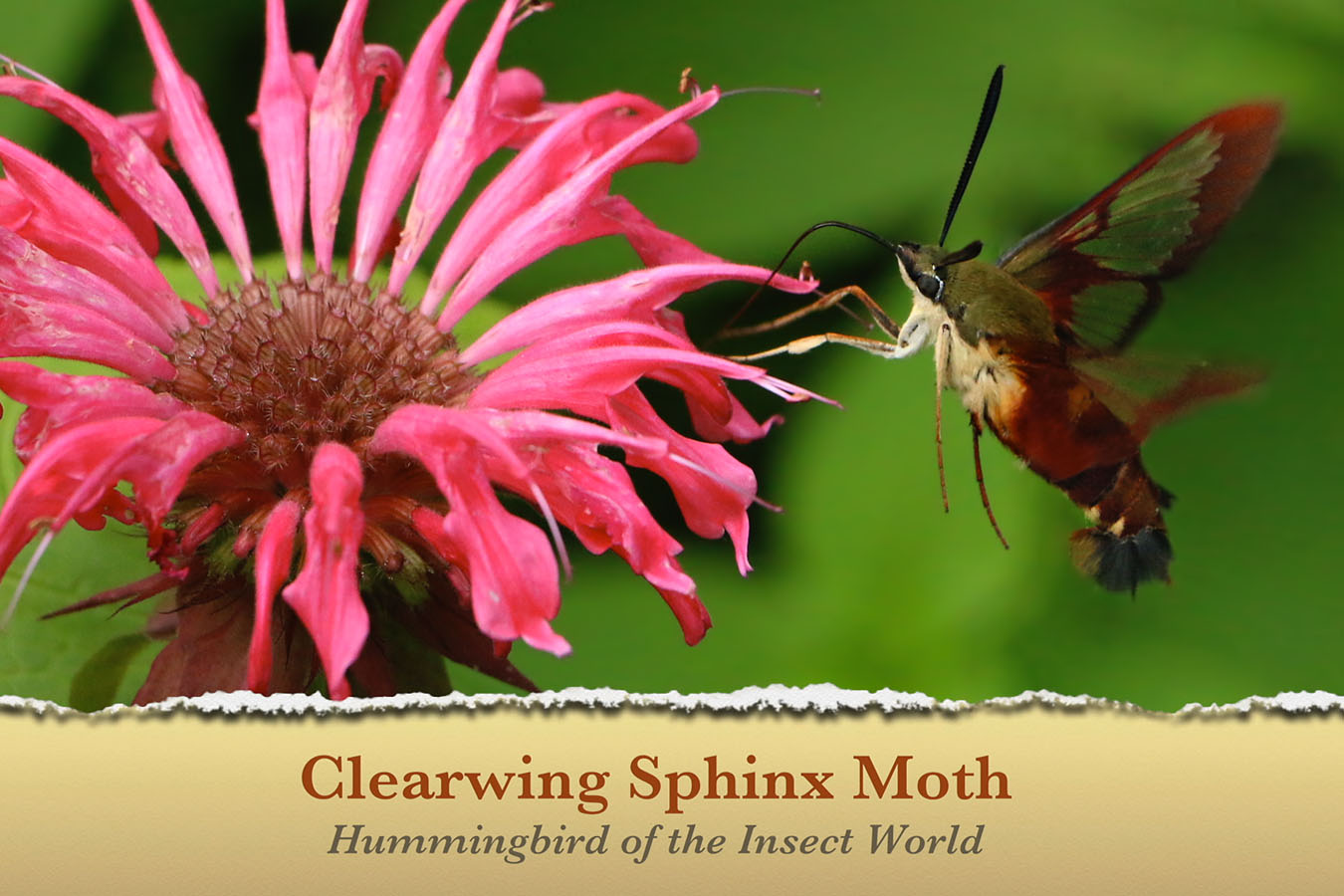 Clearwing Sphinx Moth - featured image