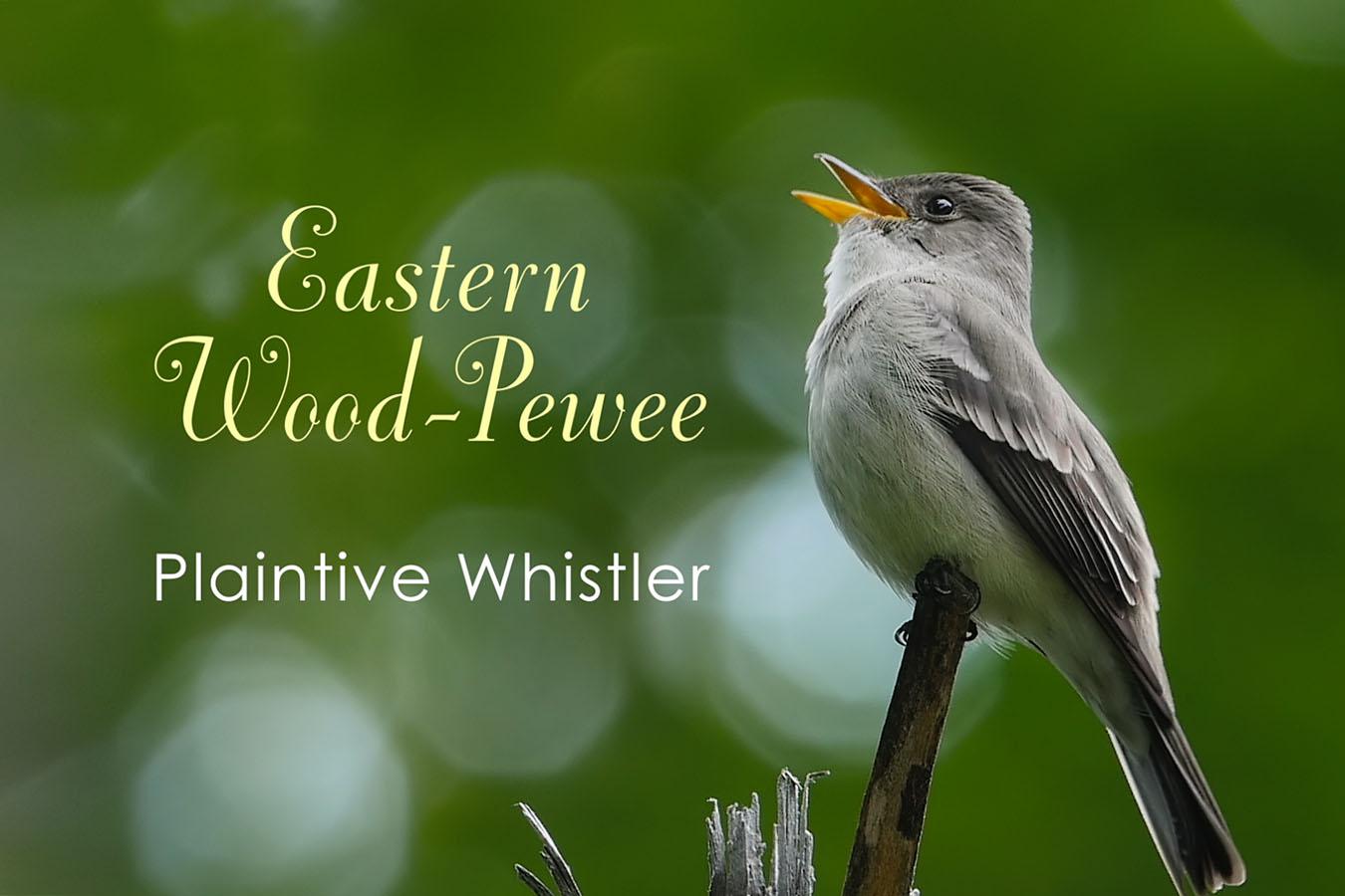 Eastern Wood-Pewee - featured image © Lang Elliott