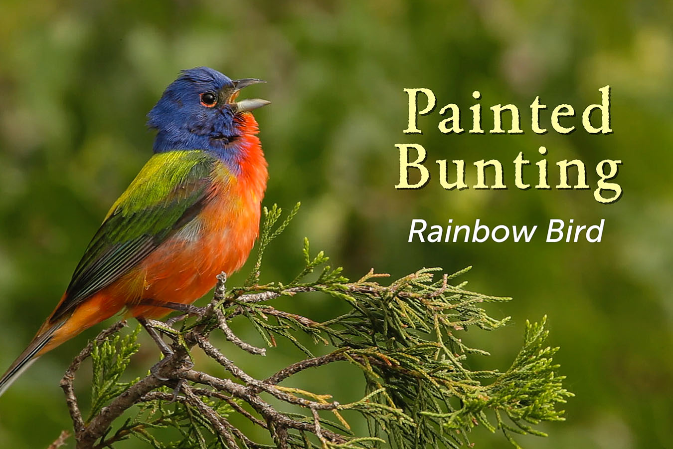Painted Bunting - featured image © Lang Elliott