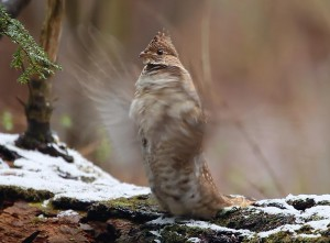Ruffed Grouse - drumming with blurred wings © Lang Elliott