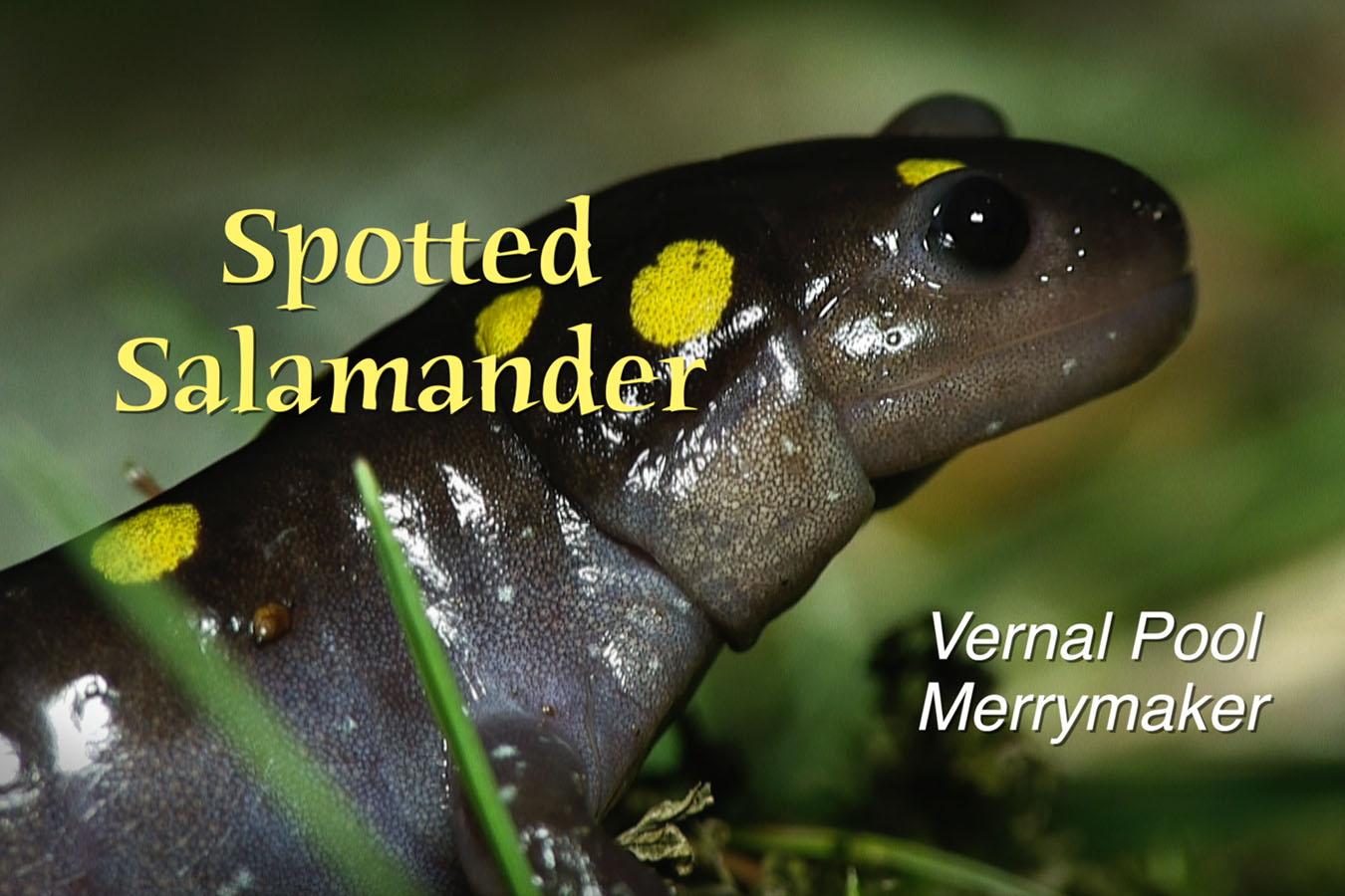 Spotted Salamander - featured image © Lang Elliott