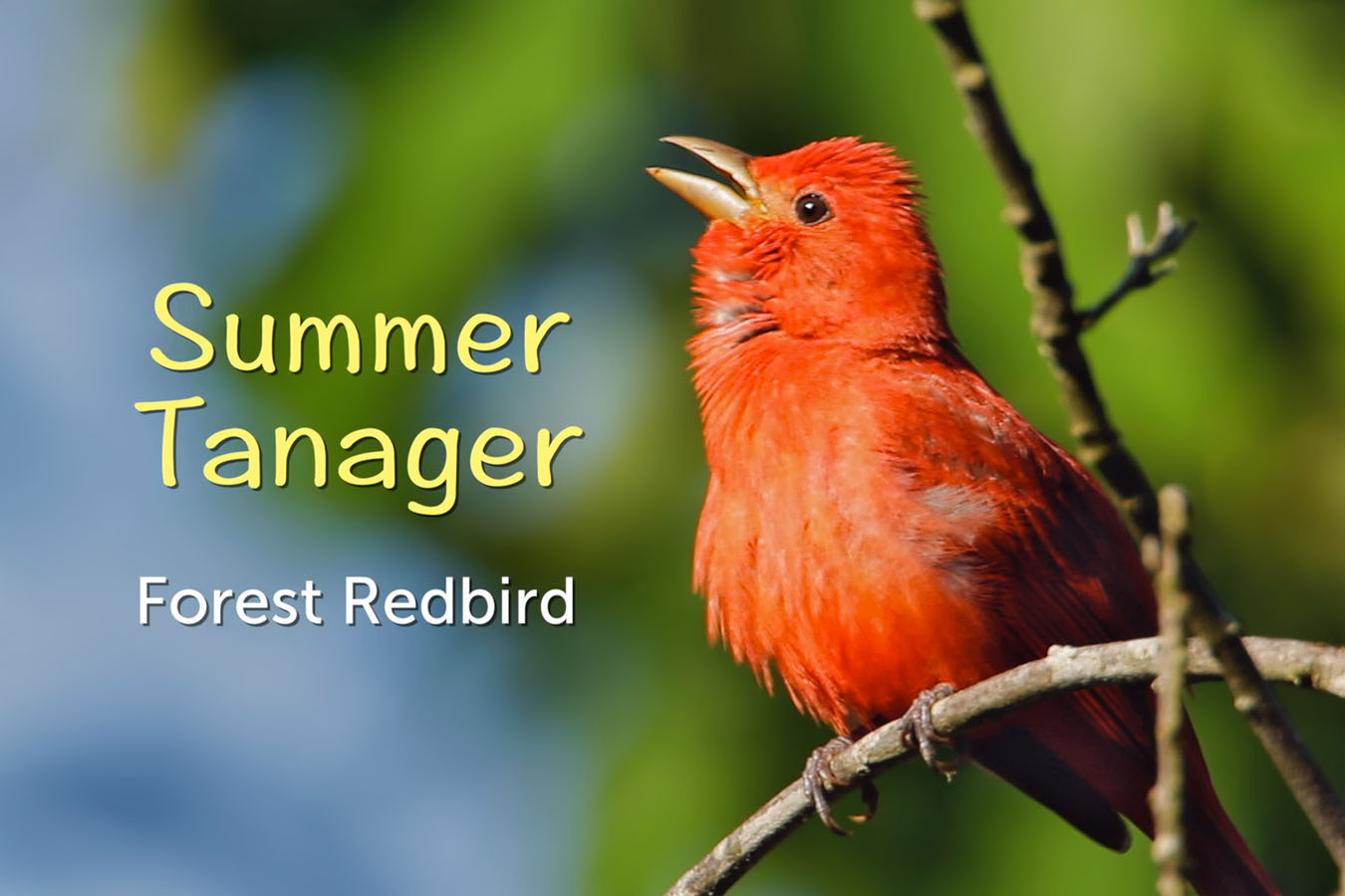 Summer Tanager - featured image © Lang Elliott