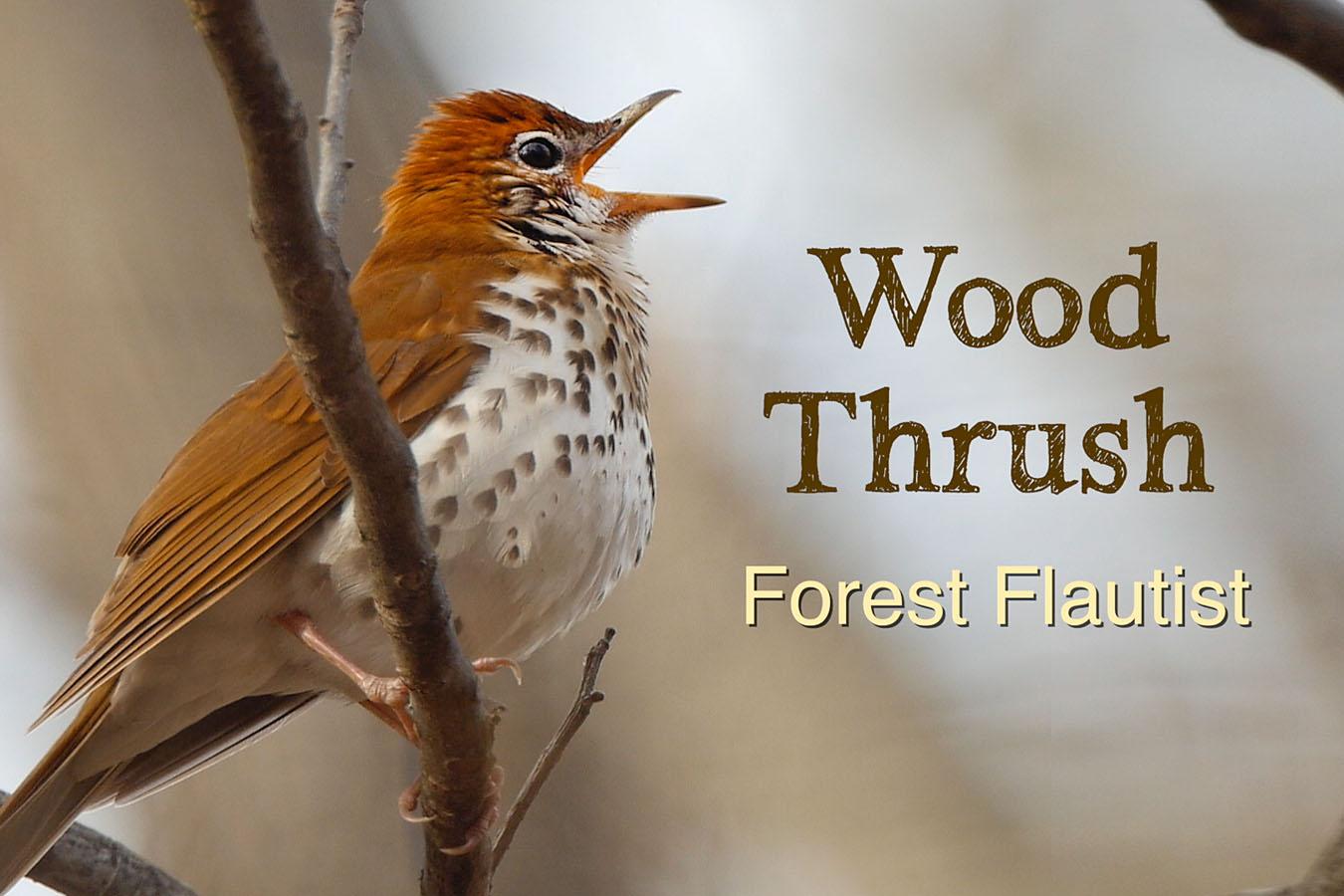 Wood Thrush - featured image © Lang Elliott