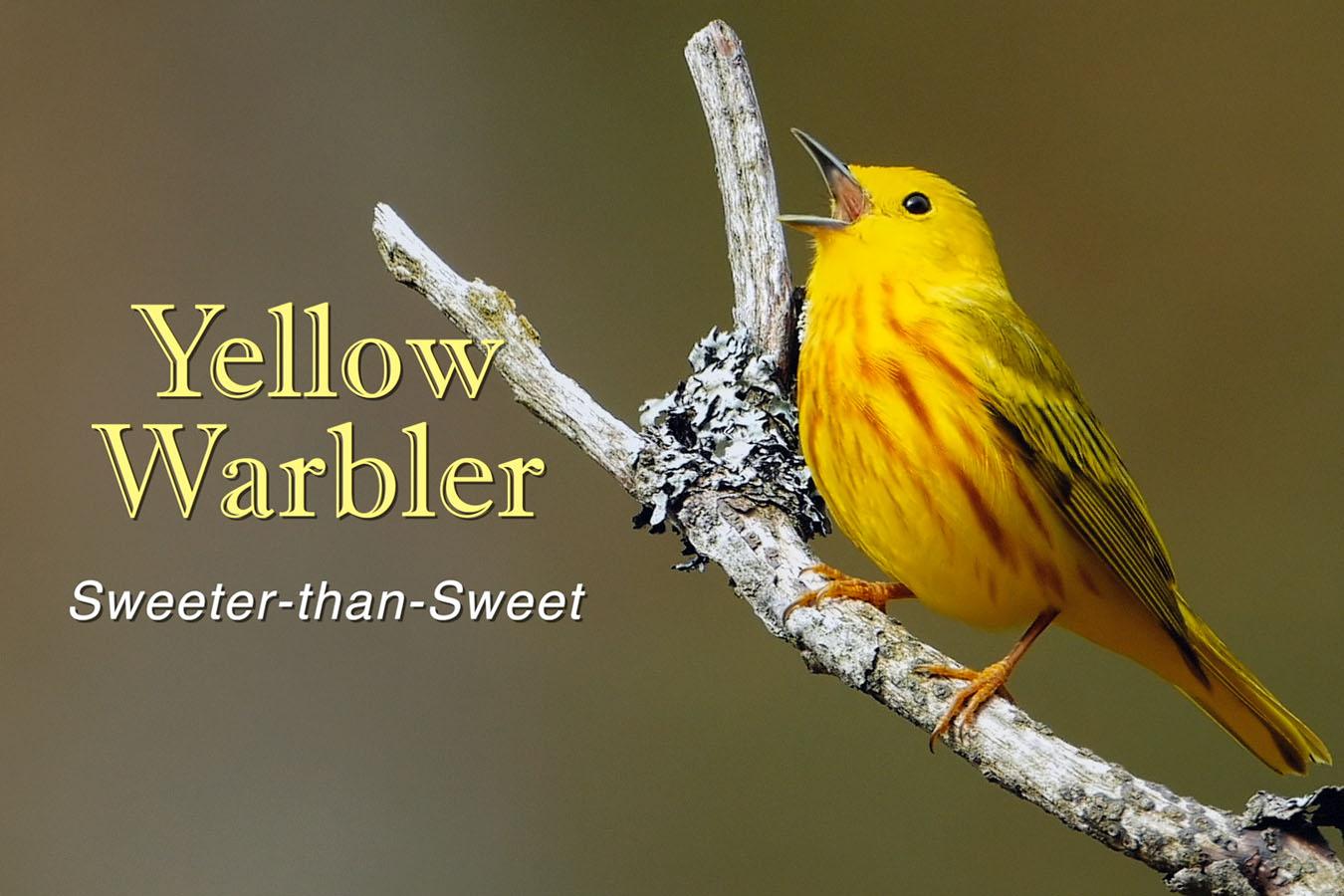Yellow Warbler - featured image © Lang Elliott