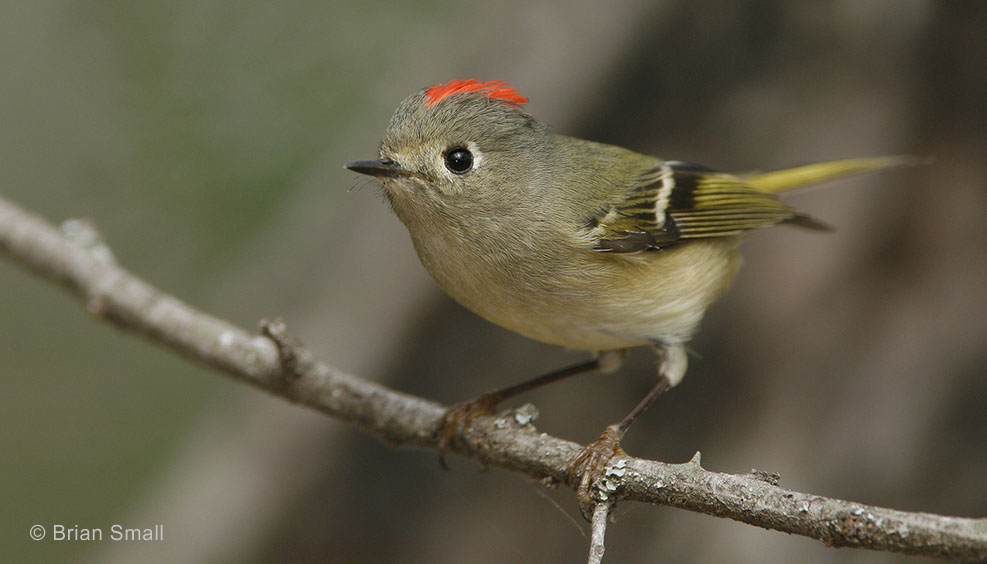 Ruby-crowned Kinglet – Avian Jewel