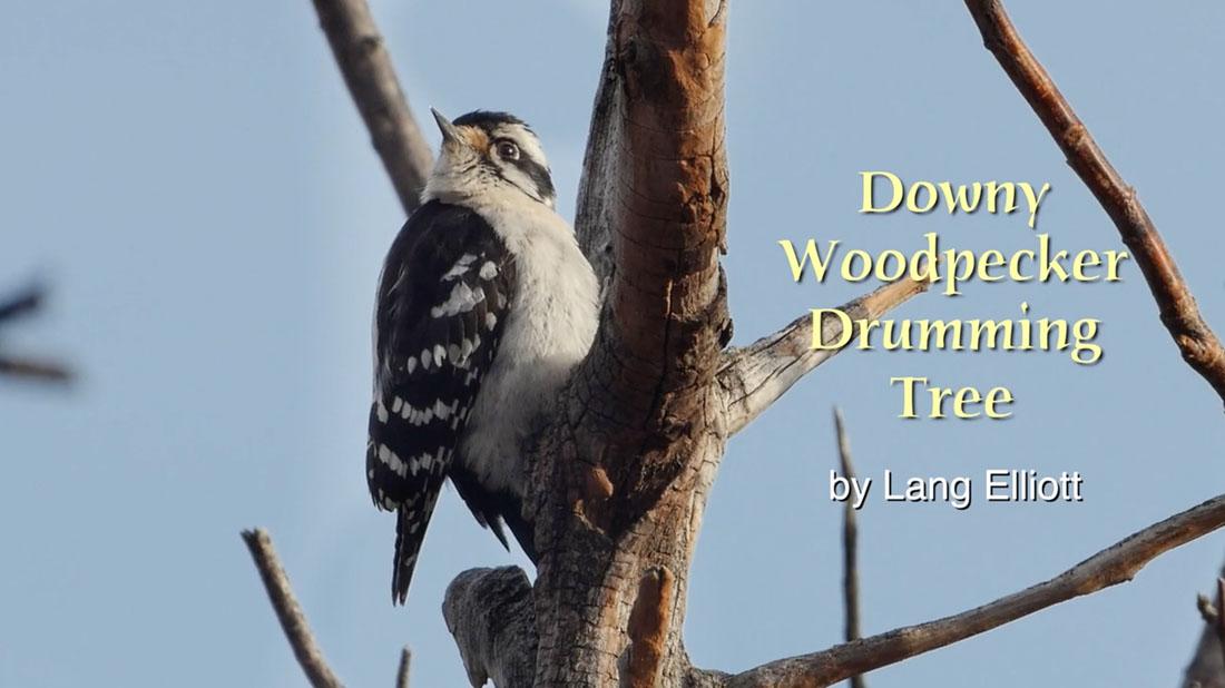 Downy Woodpecker Drumming Tree