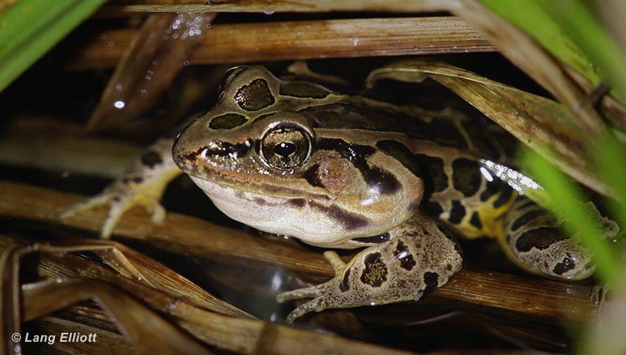 Pickerel Frog Snoring