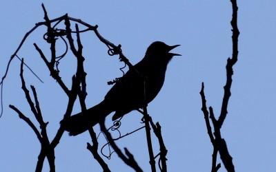 Gray Catbird – Silhouette Song