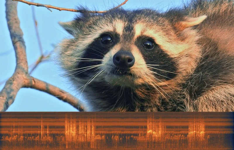 Music of Nature | Raccoon Fight