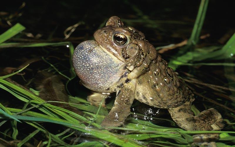 American Toad © Lang Elliott