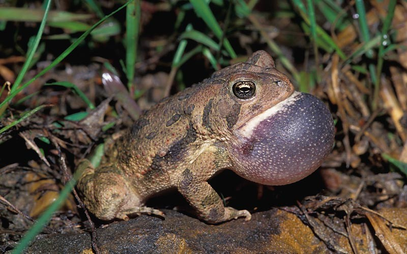 Fowler's Toad © Lang Elliott