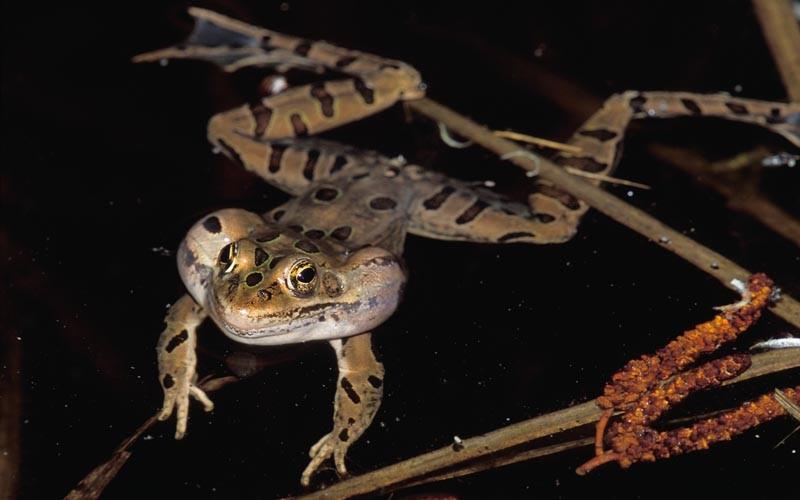 Northern Leopard Frog © Lang Elliott