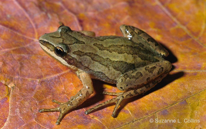 Western Chorus Frog © Suzanne L. Collins