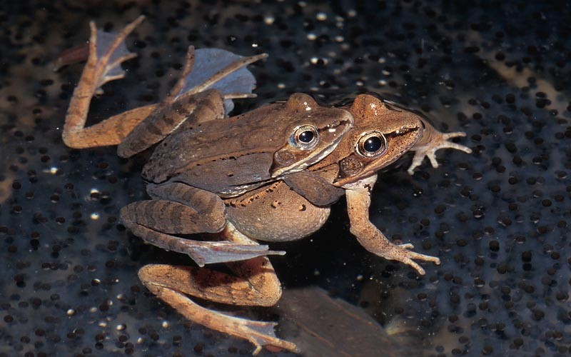 Wood Frog © Lang Elliott