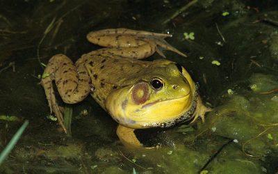 Green Frog Stutter-Fest