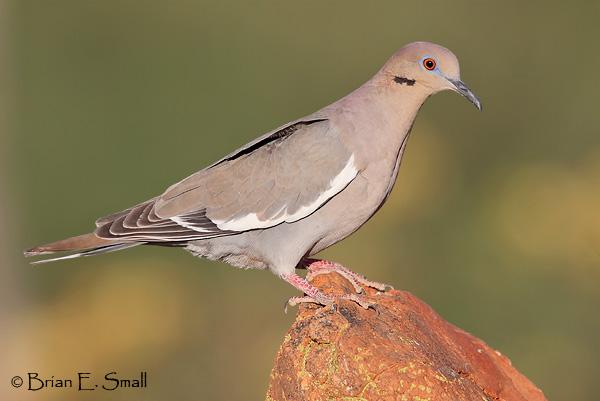 White-winged Dove © Brian Small