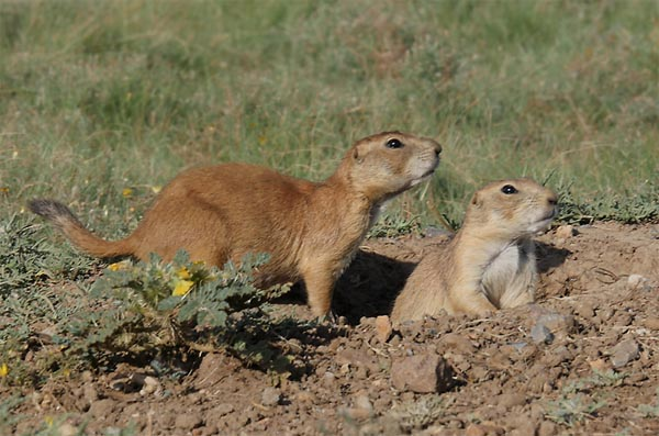 Prairie Dogs at entrance to burrow, by Lang Elliott