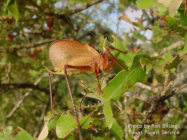 truncated true katydid by Ron Billings, Texas Forest Service