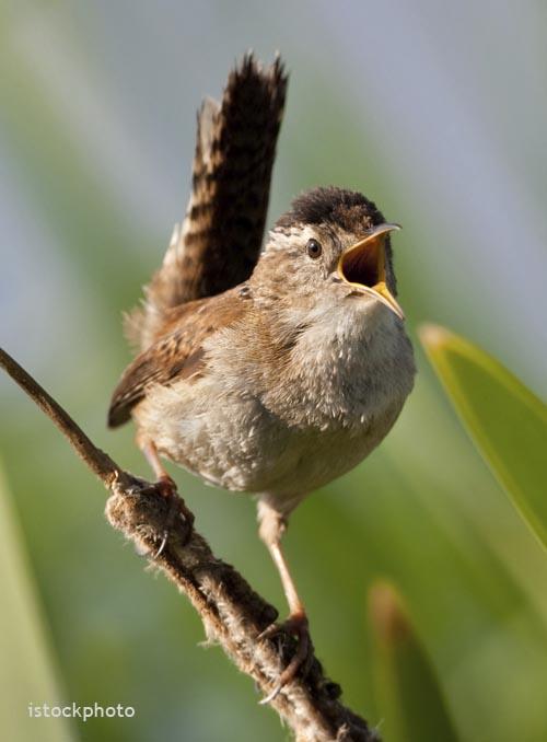 Marsh Wren - istock photo