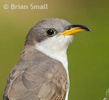 Yellow-billed cuckoo © Brian Small