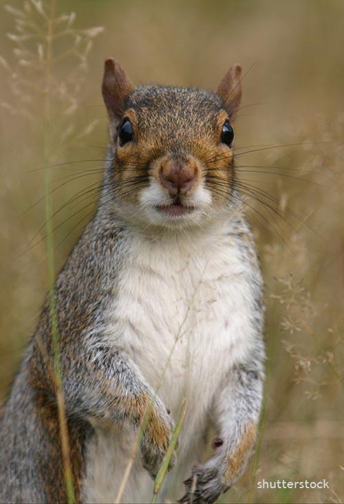 gray_squirrel_shutterstock_63092887_edit