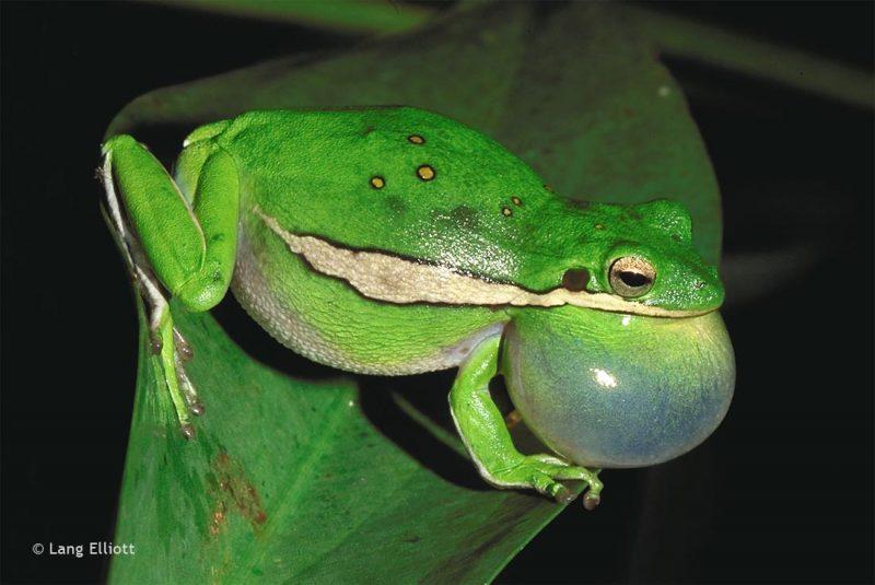 Green Treefrog © Lang Elliott
