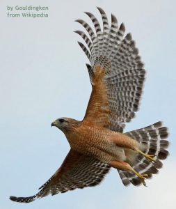 Red-shouldered Hawk by Gouldingken, from Wikepedia