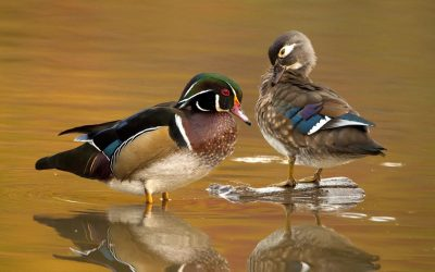 Wood Duck Revelry