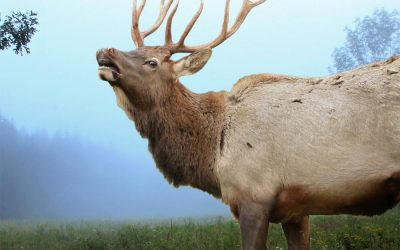 Bugling of the Elk