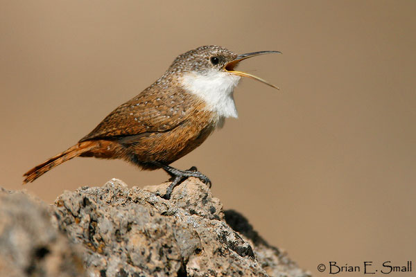 Canyon Wren by Brian Small