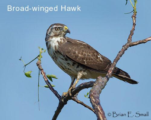 Broad-winged Hawk © Brian Small