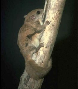 Southern Flying Squirrel - US Forest Service