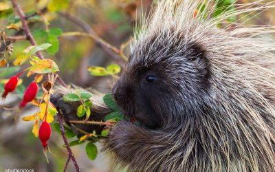 Porcupine Panderings