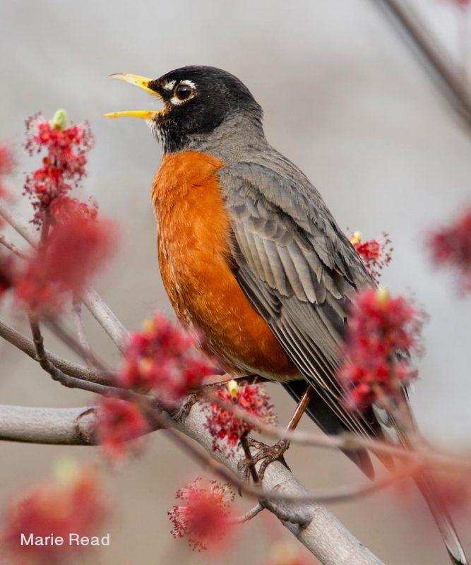 American Robin by Marie Read
