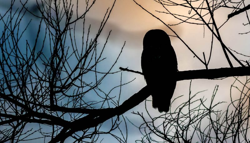 Adirondack Barred Owl - track art for album: Voices of the Night